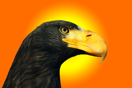 a large bird of prey: Stellers sea eagle, Haliaeetus pelagicus,portrait against a sunset colored background Stock Photo