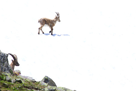 mountain peek: Couple of ibex goats in a high mountain setting Stock Photo