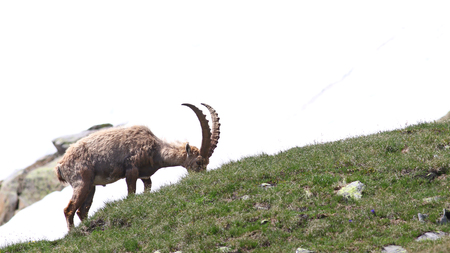 mountain peek: Ibex goat grazing on a rocky and grassy patch in the mountains against white snow background Stock Photo