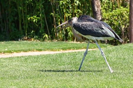 african stork: Marabou stork, leptoptilos crumenifer, strolling in green grass in front of bamboo forest