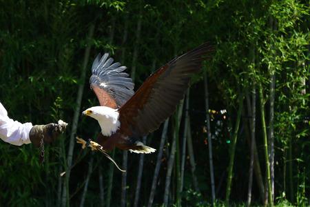 sea eagle: African sea eagle landing on the glove of a falconer
