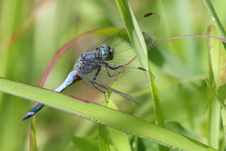 Colorful blue dragonfly on a strand of grass against a blurred green background Stock Photo