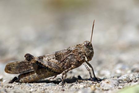 langosta: Retrato macro del saltamontes de la langosta del desierto o Foto de archivo