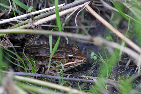 Animal mimetism: frog hiding in a swamp
