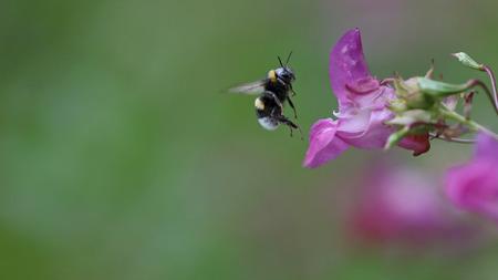 honeybee: Honeybee in flight in front of a colorful purple flower Stock Photo