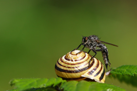 Horsefly on a snail shell on a green leaf against a blurred green background