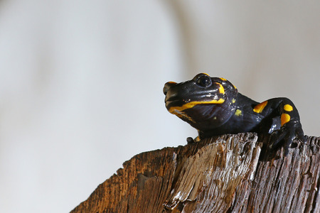 Nocturnal  amphibian, a salamander, on a log Stock Photo