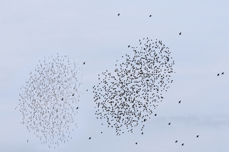 migrating: Migrating flocks of starlings in the fall against blue skies Stock Photo