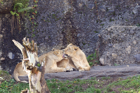 Lions cuddling and licking each other