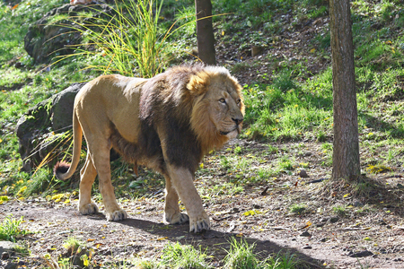 lion tail: A male African lion,Panthera leo, slowly walking
