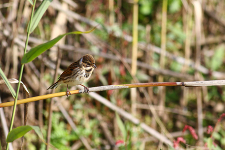 common reed: Common Reed Bunting,Emberiza schoeniclus, in its habitat on reeds in marshlands