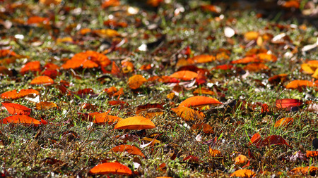 variegated: Sun shining on colorful fall leaves on a background of green grass