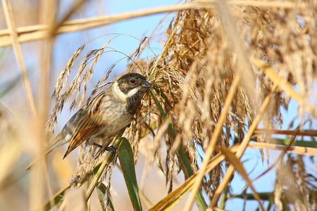 Common Reed Bunting,Emberiza schoeniclus, in its habitat on reeds in marshlands