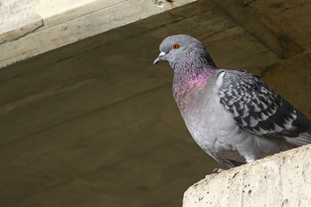 beak pigeon: Traveling pigeon on concrete ledger