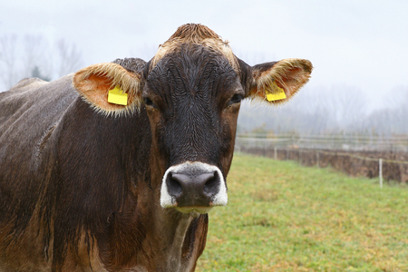 Wet brown cow in green field on a rainy day