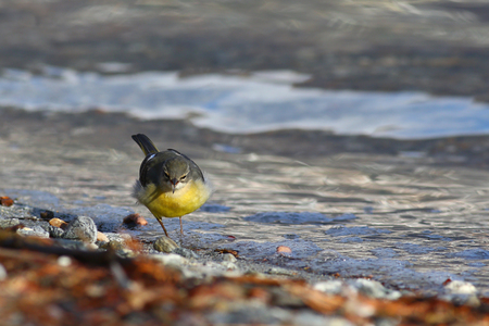 cinerea: Grey wagtail, Motacilla Cinerea, striking an aggressive posture in its typical lake shore habitat Stock Photo