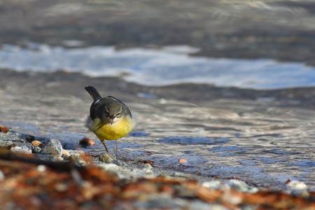 motacilla: lavandera gris, Motacilla cinerea, golpeando una postura agresiva en su hábitat típico orilla del lago
