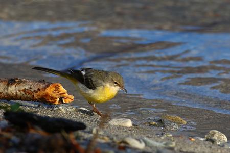 motacilla: lavandera gris, Motacilla cinerea, paseando en su hábitat típico orilla del lago Foto de archivo