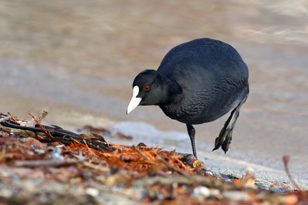 Eurasian coot, Fulica Atra, out of the water exploring the lake shore