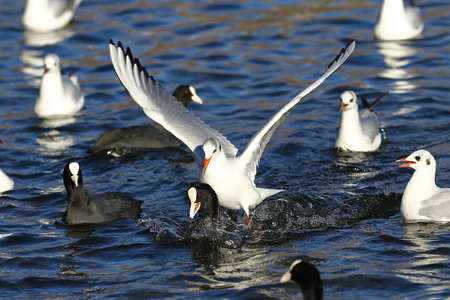 mobbing: Eurasian coot, Fulica Atra, with seagull riding onn its back fighting over food