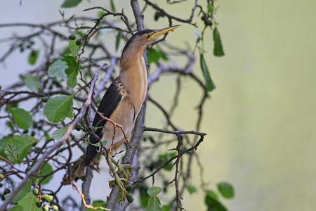 A shy Little Bittern, Ixobrychus minutus, on a tree branch aginst a blurred green water background Stock Photo