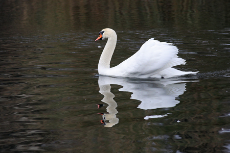 Mute swan, Cygnus olor, elegantlyswimming with its wings raised during a mating parade in a lake with reflections