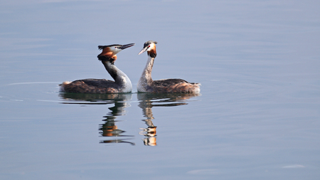 crested duck: Great crested grebes mating ritual dance