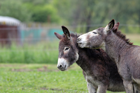 Donkeys in green field, one seeming to whisper in another's ear