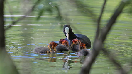 Eurasian coot feeding babies in their natural water habitat through vegetation Stock Photo