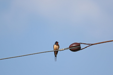 Migrating barn swallow on electric power line against blue sky Stock Photo