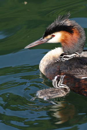 Great crested grebes, Podiceps cristatus, with baby chicks swimming in their natural habitat