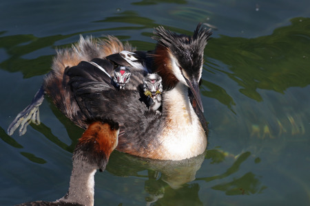 Great crested grebes, Podiceps cristatus, with baby chicks on its back being fed a water bug in their natural habitat