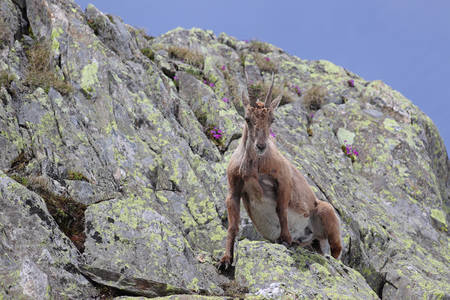 Ibex, Capra Ibex, getting up on high mountain cliffs with blue sky and flowers Stock Photo