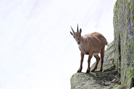 Ibex, Capra Ibex, perched on high mountain cliffs against a white snow background Stock Photo