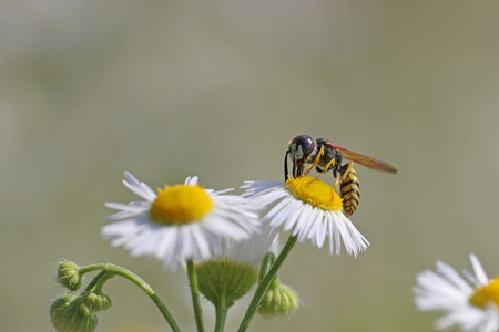 Bee on daisies against a blurred background