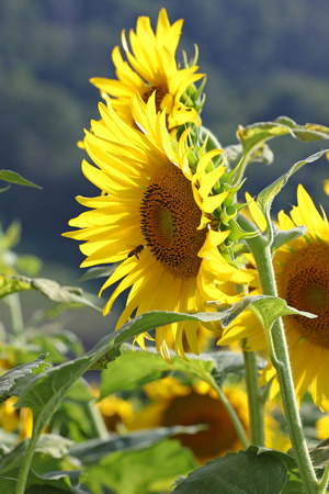 Honeybees on sunflowers in agricultural field Stock Photo