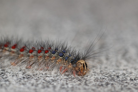 Gypsy moth, Lymantria Dispar, in its caterpillar state: one of the most destructive pests of hardwood trees Stock Photo