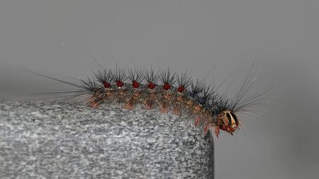 Gypsy moth, Lymantria Dispar, in its caterpillar state Stock Photo