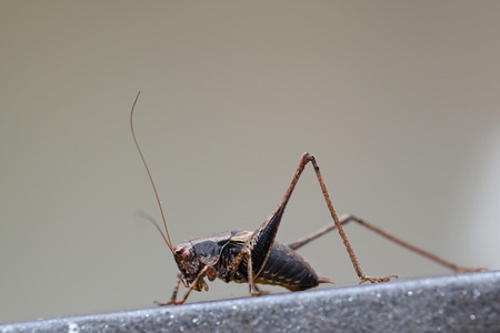 Grasshopper posing on forged iron fence against a bright gray background