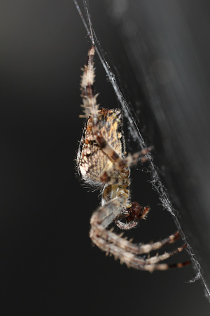 Side view of a spider feeding on a fly on its cobweb against a dark gray background Stock Photo