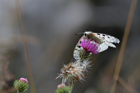 Butterfly, Parnassius apollo, on a purple wild flower against a blurred gray background Stock Photo