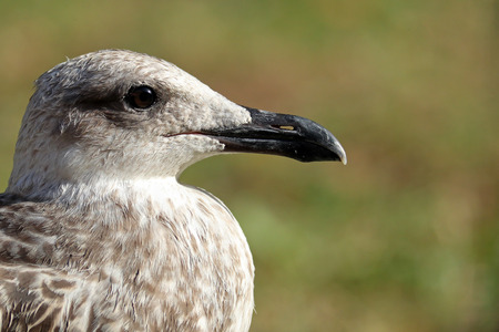 Portrait of young yellow-legged seagull against a blurred field background
