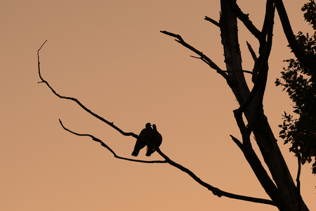 Two wood pigeons, Columba palumbus, cuddling on a branch against a pink sunset sky