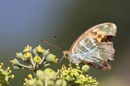 Butterfly feeding on ivy flowers Stock Photo