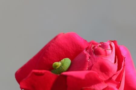 Green caterpillar on a blossoming pink rose against a gray background Stock Photo