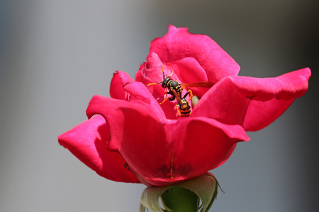 Wasp on a blossoming pink rose against a gray background Stock Photo