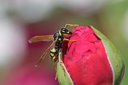 Wasp on a pink rose bud against a blurred gray and green background
