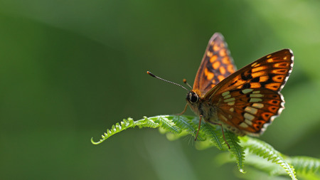 background: Black, orange and white butterfly on ferns against a blurred green background