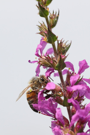 Honeybee going through a colorful purple wildflower isolated against a white background Stock Photo
