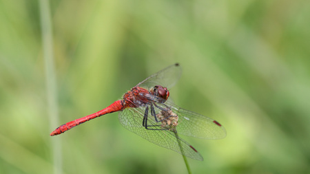 Red dragonfly, Sympetrum sanguineum, on a strand of wild grass against a blurred green background